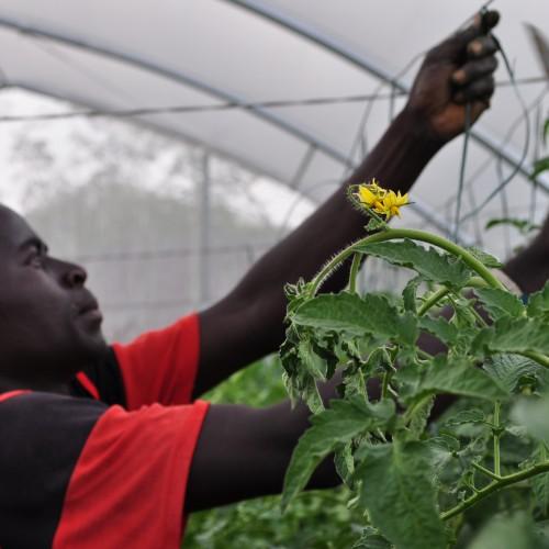 Reichlich Tomaten – aber Wasser wird knapp