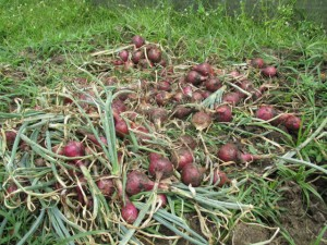 Rote Zwiebeln